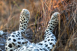 Leopard (Panthera pardus) rear legs of male sleeping on its back, Sabi Sand Private Game Reserve, South Africa  -  Christophe Courteau