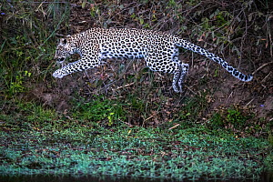 Leopard (Panthera pardus) young female jumping across a river, Sabi Sand Private Game Reserve. South Africa.  -  Christophe Courteau