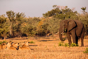 African lions (Panthera leo) observing African elephant (Loxodonta africana) approaching them, Sabi Sand Private Game Reserve, South Africa.  -  Christophe Courteau