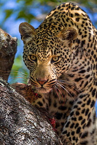 Leopard (Panthera pardus) male in a tree, Sabi Sand Game Reserve, South Africa  -  Christophe Courteau