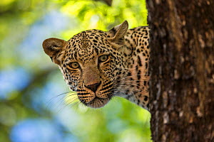 Leopard (Panthera pardus) in a tree, Sabi Sand Game Reserve, South Africa.  -  Christophe Courteau