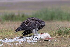 Martial eagle (Polemaetus bellicosus) feeding on White stork (Ciconia ciconia) Ndutu, near Ngorongoro Conservation Area, Tanzania  -  Christophe Courteau
