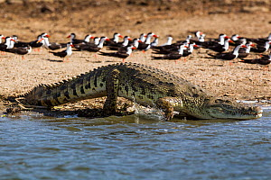 Nile crocodile (Crocodylus niloticus) entering water with African black skimmers (Rynchops niger) in background, Lake Albert, Uganda - Christophe Courteau