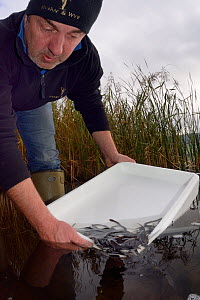 Richard Cook releasing European eel (Anguilla anguilla) elvers during a reintroduction project run by Severn and Wye Smokery and UK Glass Eels, Lake Llangorse Breacon Beacons, Wales, UK, October 2016  -  Nick Upton