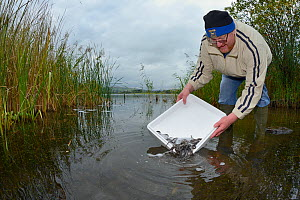 Elliot Gough releasing European eel (Anguilla anguilla) elvers during a reintroduction project run by Severn and Wye Smokery and UK Glass Eels, Lake Llangorse Breacon Beacons, Wales, UK, October 2016  -  Nick Upton