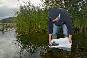 Richard Cook releasing European eel (Anguilla anguilla) elvers during a reintroduction project run by Severn and Wye Smokery and UK Glass Eels, Lake Llangorse, Breacon Beacons, Wales, UK, October 2016  -  Nick Upton