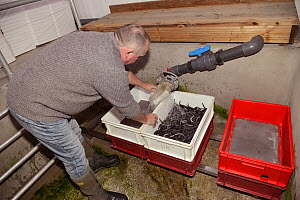 European eel (Anguilla anguilla) elvers being collected in a sieve for packaging and transport to Wales for a reintroduction project as a holding tank is drained down at UK Glass Eels, Gloucester, UK,... - Nick Upton