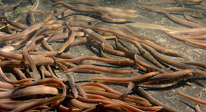 European eel (Anguilla anguilla) elvers swimming in a large holding tank at UK Glass Eels, ahead of being reintroduced to a lake in Wales, Gloucester, UK, October 2016  -  Nick Upton