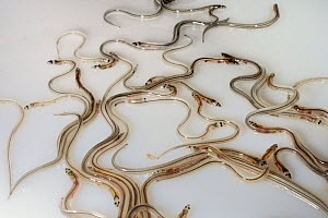 Wild caught Glass eels / young European eel (Anguilla anguilla) elvers, part of a large shipment prepared by UK Glass Eels for transport to Germany for reintroduction projects, Gloucester, UK, March 2...  -  Nick Upton
