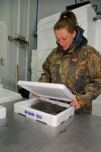 Glass eels, young European eel (Anguilla anguilla) elvers being packed in insulated boxes with ice and water at UK Glass Eels for transport to Germany for reintroduction projects, Gloucester, UK, Marc...  -  Nick Upton