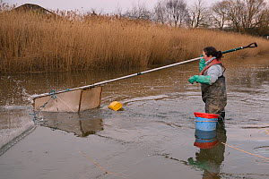 Anna Carey fishing under license, casting a legally sized dip net for young European eel (Anguilla anguilla) elvers, or glass eels, on a rising tide on the River Parrett at dusk, UK, March 2016  -  Nick Upton