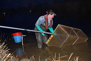 Anna Carey fishing under license with a legally sized dip net for  young European eel (Anguilla anguilla) elvers, or glass eels, on a rising tide on the River Parrett at night, Somerset, UK, March 201...  -  Nick Upton