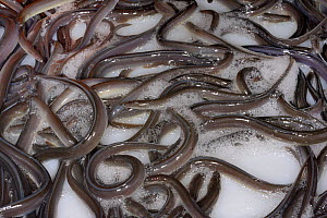 European eel (Anguilla anguilla) elvers being packaged at UK Glass Eels for transport to Wales for a reintroduction project, Gloucester, UK, October 2016  -  Nick Upton