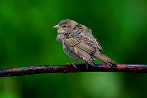 House sparrow (Passer domesticus) fledgling waiting to be fed. Dorset, UK, June. - Colin Varndell