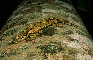 Southern Leaf-tailed Gecko (Saltuarius swaini), camouflaged on lichen-covered tree trunk, native to the rainforests of north-eastern New South Wales and south-eastern Queensland, Australia.  -  Jiri Lochman