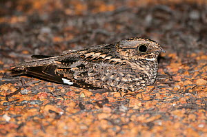 Spotted Nightjar (Eurostopodus argus), nesting on the ground, native to mainland Australian, New Guinea and surrounding islands.  -  Jiri Lochman