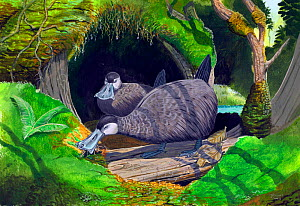 Illustration of extinct Kaua'i mole ducks (Talpanas lippa) forage on the forest floor for invertebrate prey with their broad, sensitive bills. - Julian Hume