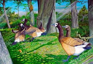 Illustration of extinct birds : male Giant hawaiian geese (Branta sp) fight over territory in a kipuka in the foothills of Mauna Loa volcano. A female and juvenile look on, while a Western Hawaiian ra...  -  Julian Hume