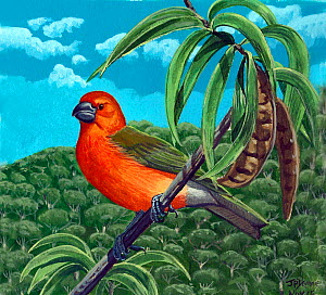 Illustration of extinct  O'ahu koa finch (Rhodacanthis litotes) in a Koa (Acacia koa) Hawaii.  -  Julian Hume