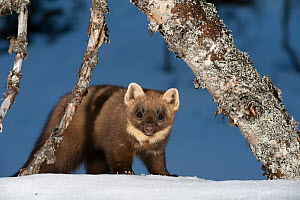 RF - Pine marten (Martes martes). Vauldalen, Norway. (This image may be licensed either as rights managed or royalty free.)  -  Erlend Haarberg