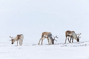 RF - Wild Reindeer (Rangifer tarandus). Forollhogna National Park in February. Norway. (This image may be licensed either as rights managed or royalty free.)  -  Erlend Haarberg