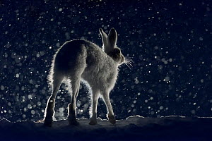 RF - Mountain hare (Lepus timidus). Norway. (This image may be licensed either as rights managed or royalty free.)  -  Erlend Haarberg