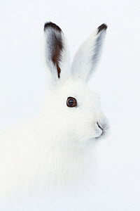 RF - Mountain hare (Lepus timidus) portrait,  Vauldalen, Norway. (This image may be licensed either as rights managed or royalty free.)  -  Erlend Haarberg