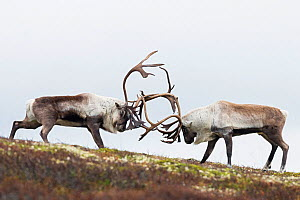 RF - Wild reindeer (Rangifer tarandus). Fighting males in autumn. Forollhogna National Park. Norway. (This image may be licensed either as rights managed or royalty free.)  -  Erlend Haarberg