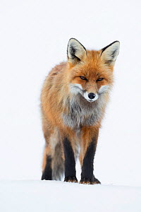RF - Red fox (Vulpes vulpes). Vauldalen, Norway. (This image may be licensed either as rights managed or royalty free.)  -  Erlend Haarberg