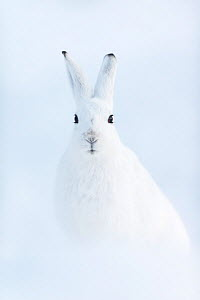 RF - Mountain hare (Lepus timidus). Vauldalen, Norway. (This image may be licensed either as rights managed or royalty free.) - Erlend Haarberg
