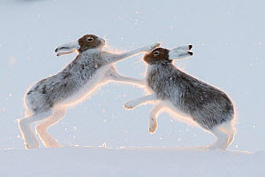 RF - Two Mountain hares (Lepus timidus) fighting / boxing.  Vauldalen, Norway. (This image may be licensed either as rights managed or royalty free.) - Erlend Haarberg