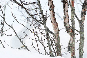 RF - Mountain hare (Lepus timidus) amongst Birch trees, well camouflaged in snow. Vauldalen, Norway. (This image may be licensed either as rights managed or royalty free.)  -  Erlend Haarberg