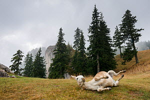 RF - Donkey rolling on a  foggy day in the Piatra Mare Mountains, Transylvania, Romania. (This image may be licensed either as rights managed or royalty free.) - Erlend Haarberg