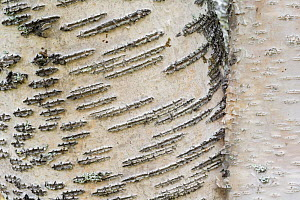 Birch tree (Betula pubescens) close up of bark, Rapa delta, Laponia World Heritage Site, Lapland, Sweden, September  -  Erlend Haarberg