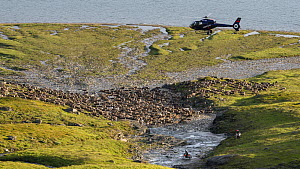 Gathering domesticated Reindeer (Rangifer tarandus) with helicopter and motorcycle for calf-marking in the Padjelanta National Park, Laponia World Heritage Site, Swedish Lapland, Sweden July  -  Erlend Haarberg