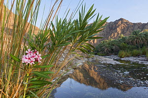 Date palm plantation by a small river in the Hajar Mountains. United Arab Emirates.  -  Erlend Haarberg
