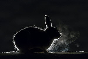 Mountain hare (Lepus timidus) breath backlit during cold night, Vauldalen, Norway May  -  Erlend Haarberg