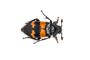 Sexton beetle (Nicrophorus investigator) Drumnadrochit, Inverness, Scotland, UK, August.  -  Chris Mattison