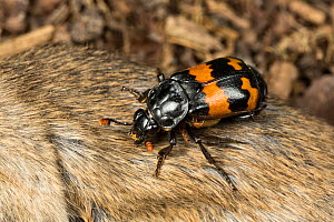Sexton beetle (Nicrophorus investigator) on a dead mouse. Drumnadrochit, Inverness, Scotland, UK, August. (The mites that can be seen are using the beetle to carry them to food; they do not parasitise...  -  Chris Mattison