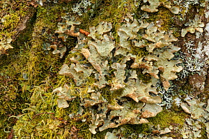 Foliose lichen (Lobaria scrobiculata) on birch bark. Sensitive to pollution. Drumnadrochit, Inverness, Scotland - Chris Mattison