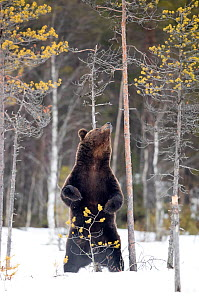 European brown bear (Ursus arctos) scratching up against tree in snow, Finland, April - Danny Green