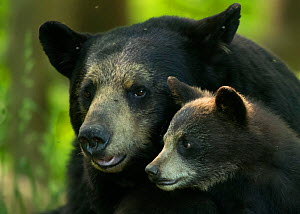 Black bear (Ursus americanus) female and cub, Minnesota, USA, June - Danny Green