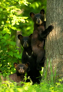 Black bears (Ursus americanus) three cubs, one climbing, Minnesota, USA, June - Danny Green