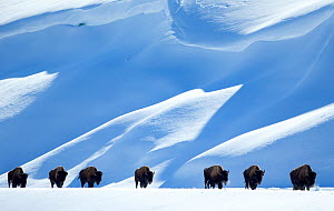 Bison (Bison bison) herd walking in line in snow, Yellowstone National Park, Wyoming, USA, February - Danny Green