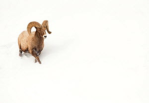 Bighorn sheep (Ovis canadensis) male ram walking in the snow, Yellowstone National Park, USA, February - Danny Green