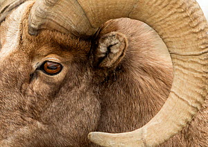 Bighorn sheep (Ovis canadensis) close up ram's head shot, Yellowstone National Park, USA, February - Danny Green