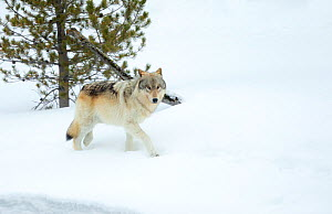 Grey wolf (Canis lupus) walking in snow, Yellowstone National Park, Wyoming, USA February  -  Danny Green