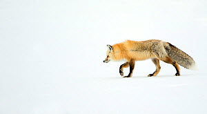 Red fox (Vulpes vulpes) on the prowl for prey on snow, Yellowstone National Park, USA, February  -  Danny Green