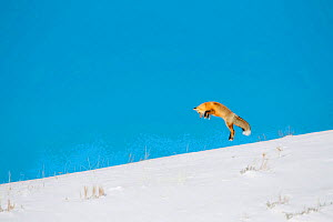 Red fox (Vulpes vulpes) hunting by pouncing onto prey through snow, Yellowstone National Park, USA, February - Danny Green