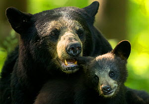 RF - Black Bear (Ursus americanus) female and cub, Minnesota, USA. June. (This image may be licensed either as rights managed or royalty free.)  -  Danny Green